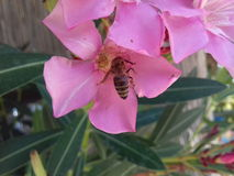 Abeja de la flor y de la miel Fotografía de archivo