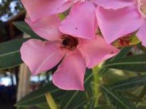 Abeja de la flor y de la miel Fotos de archivo