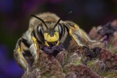 abeja de la Lana-carda mechera Imagenes de archivo