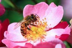 Abeja de la miel Imágenes de archivo libres de regalías