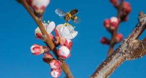 Abeja de la miel Fotos de archivo libres de regalías
