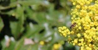 Abeja de la miel Foto de archivo libre de regalías