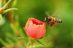 Abeja de la miel Fotos de archivo