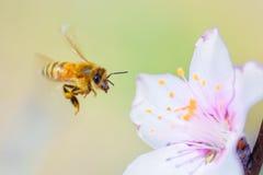 Abeja de la miel Imagenes de archivo