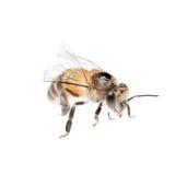 Abeja de la miel aislada Imágenes de archivo libres de regalías