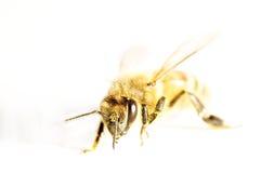 Abeja de la miel aislada en blanco Imagen de archivo
