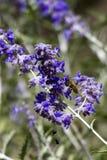Abeja de la miel, Apis Imágenes de archivo libres de regalías