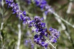 Abeja de la miel, Apis Imagenes de archivo