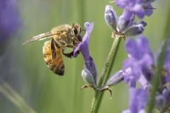 Abeja de la miel de Brown en la flor Imagen de archivo libre de regalías