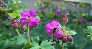 Abeja de la miel con el geranio de la flor Fotografía de archivo libre de regalías