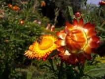 Abeja de la miel con la flor Foto de archivo libre de regalías