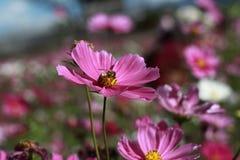 Abeja de la miel con la flor rosada Foto de archivo libre de regalías