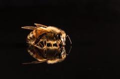Abeja de la miel con la reflexión aislada en negro Fotos de archivo