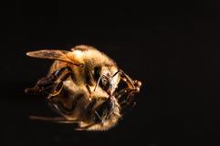 Abeja de la miel con la reflexión aislada en negro Imagen de archivo libre de regalías