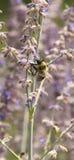 Abeja de la miel con las alas móviles borrosas Fotografía de archivo
