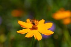 Abeja de la miel con las flores amarillas Foto de archivo