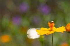 Abeja de la miel con las flores amarillas Imágenes de archivo libres de regalías