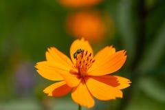 Abeja de la miel con las flores amarillas Fotos de archivo