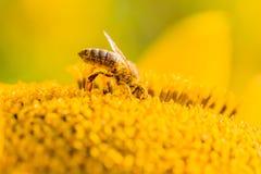 Abeja de la miel cubierta con el polen amarillo que recoge el néctar en flor Imagenes de archivo