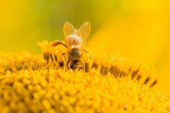Abeja de la miel cubierta con el polen amarillo que recoge el néctar en flor Foto de archivo libre de regalías