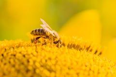 Abeja de la miel cubierta con el polen amarillo que recoge el néctar en flor Fotografía de archivo