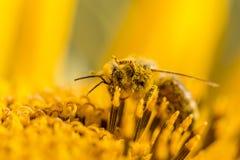 Abeja de la miel cubierta con las piernas amarillas detalladas del polen en aire Fotografía de archivo