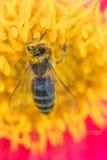 Abeja de la miel cubierta con polen Imagen de archivo libre de regalías