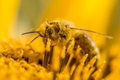 Abeja de la miel cubierta con polen y piernas amarillos en aire Imágenes de archivo libres de regalías
