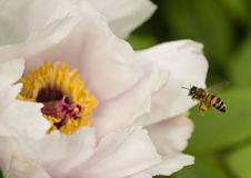 Abeja de la miel de Fying en cierre de la flor de la peonía para arriba Imagen de archivo libre de regalías