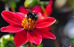 Abeja de la miel de la dalia Foto de archivo libre de regalías