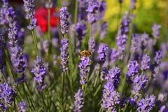 Abeja de la miel de la flor de la lavanda Imágenes de archivo libres de regalías
