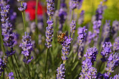 Abeja de la miel de la flor de la lavanda Foto de archivo