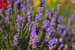 Abeja de la miel de la flor de la lavanda Foto de archivo libre de regalías