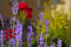 Abeja de la miel de la flor de la lavanda Imagen de archivo libre de regalías