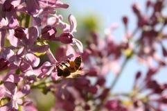 Abeja de la miel de la vida de la primavera Foto de archivo