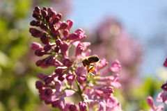 Abeja de la miel de la vida de la primavera Fotos de archivo