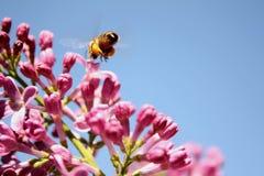 Abeja de la miel de la vida de la primavera Imagen de archivo libre de regalías