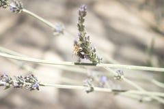 Abeja de la miel del arbusto de la hierba de Lavendar que chupa el néctar Imagenes de archivo