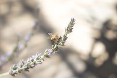 Abeja de la miel del arbusto de la hierba de Lavendar que chupa el néctar Fotografía de archivo libre de regalías