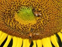 Abeja de la miel del girasol Imagen de archivo libre de regalías