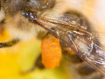 Abeja de la miel del polen en la pata Macro estupenda Imagen de archivo libre de regalías