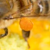 Abeja de la miel del polen en la pata Macro estupenda Fotos de archivo