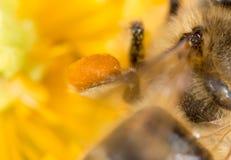 Abeja de la miel del polen en la pata Macro estupenda Fotografía de archivo libre de regalías