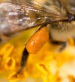 Abeja de la miel del polen en la pata Macro estupenda Imagenes de archivo