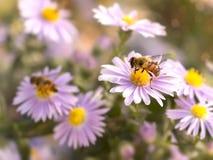 Abeja de la miel del primer en el aster azul de Nueva York Foco selectivo Foto de archivo