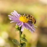 Abeja de la miel del primer en el aster púrpura de Nueva York Foco selectivo Fotografía de archivo