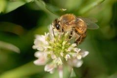 Abeja de la miel del resorte Imagenes de archivo
