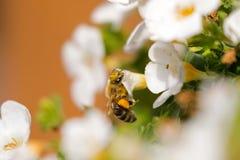Abeja de la miel del trabajador con el polen de la abeja que alimenta en la flor de Bacopa, y grande Fotografía de archivo