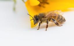 Abeja de la miel del trabajador con la flor amarilla Imagenes de archivo