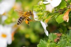 Abeja de la miel del trabajador del vuelo con polen de la abeja en la alimentación de la pierna de los honeybee's Fotografía de archivo libre de regalías